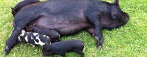 piglets suckling at Castallack Farm