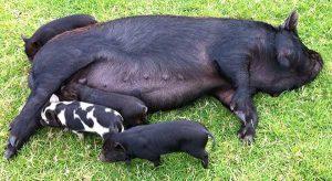 image of piglets suckling