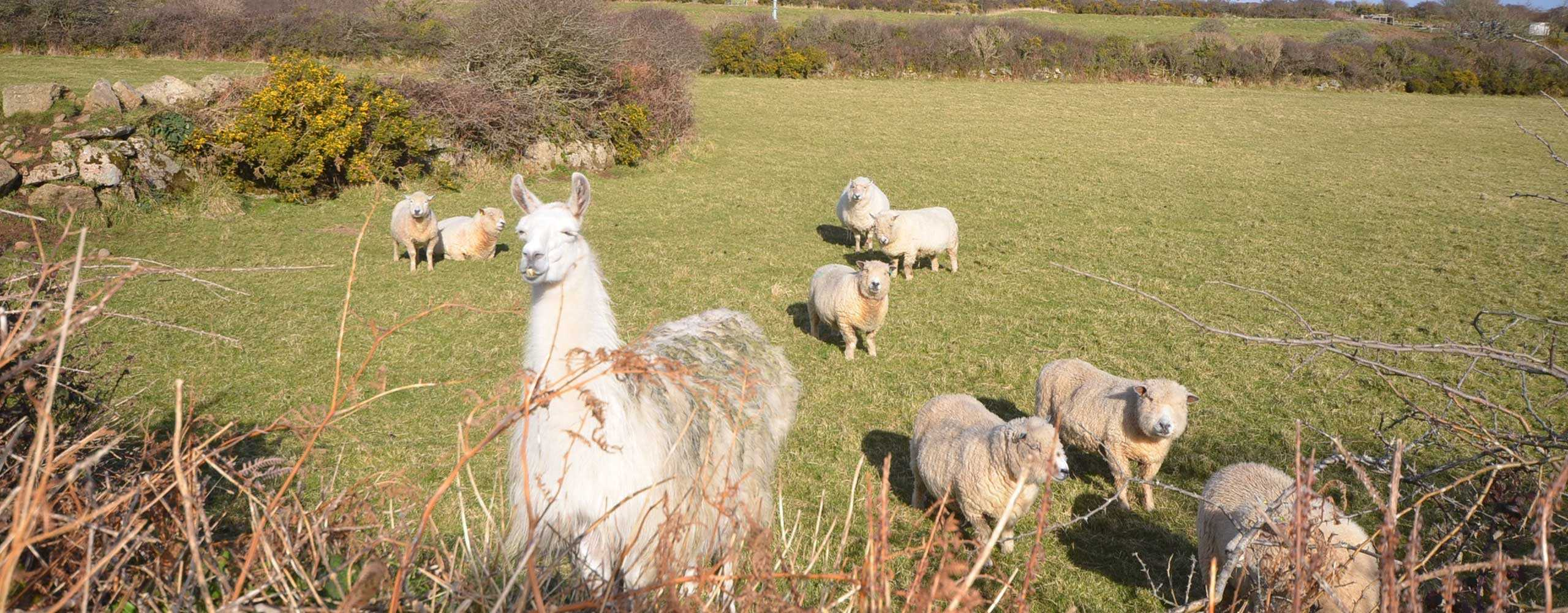 sheep and llama at Castallack Farm