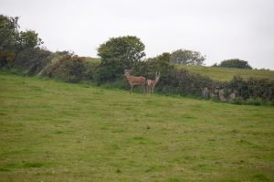 Horses and Red Deer